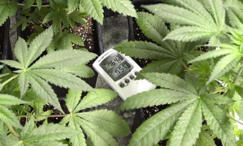 Optimum Temperature For Marijuana Plants